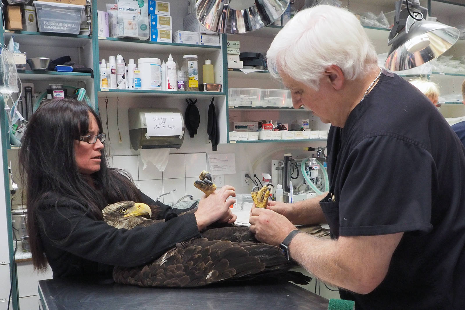 Tina Hein of the Raptor Rescue Society and Ken Langelier, veterinarian, prepare to feed a young eagle prior to releasing it from its stay at Island Veterinary Hospital on Tuesday morning. It was one of 10 eagles that were stricken after eating poisoned meat on the weekend. (Chris Bush/News Bulletin)