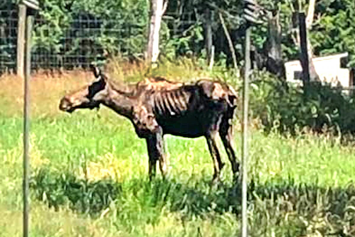 VIDEO: Oakleaf the moose, 8, euthanized at Greater Vancouver Zoo
